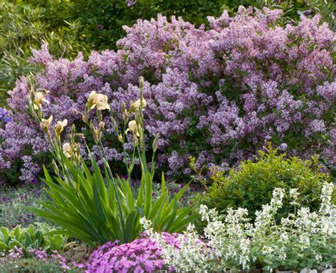 donkerpaarse bloemen 1 20 m aanbieding 53 korting op dwergsering palibin planten