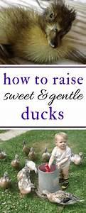 how, to, raise, friendly, ducks