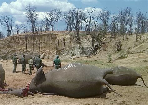 elephants elephant zimbabwe hwange hunting killed trump stampede national park trophy dead poaching game oxpeckers tusks trophies poachers species hole
