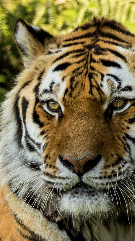 wallpaper siberian tiger dartmoor zoo hd animals