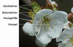 Aufbau Einer Kirschblüte : fortpflanzung der pflanzen ~ Frokenaadalensverden.com Haus und Dekorationen