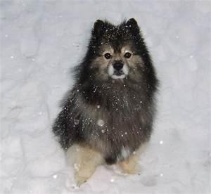 Yogi - Keeshond - Dog Breeds