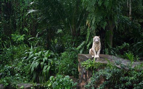 weißer tiger kostüm die 66 besten tiger hintergrundbilder