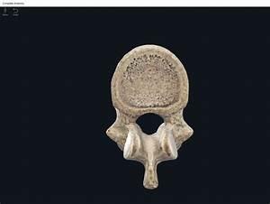 Bones  Vertebral Column  Thoracic Region   U2013 Anatomy