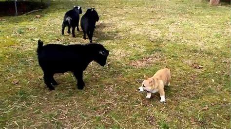 guardian dogs  popular breeds  choose