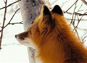snowy forest red fox gif   WiffleGif