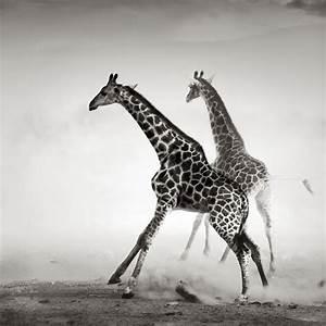 Giraffe Black And White 2048 X 2048 IPod 3 Wallpapers ...