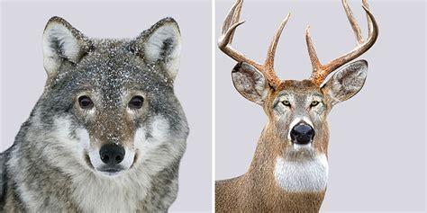predators  prey  created  funny experiment