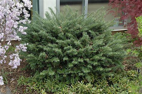 yew gardens duke gardens plum yew cephalotaxus harringtonia duke gardens in columbus dublin delaware
