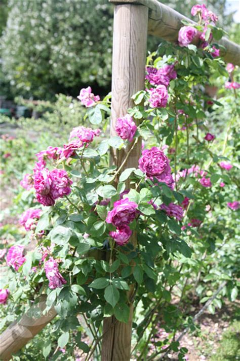 buy rose reine des violettes hybrid perpetual rosa