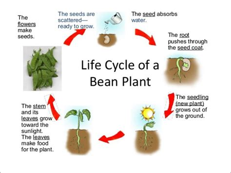 Life Cycle Of A Plant  Science Lessons And Worksheets For Children