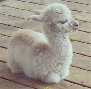 A fluffy llama baby I want it now   Anything and ...