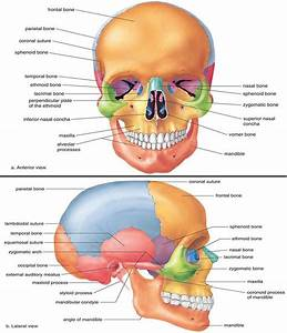Medical And Health Science  Anatomy Of Skull