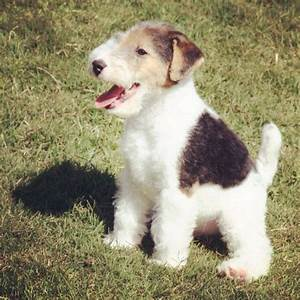 143 best images about Wire Haired Fox Terrier on Pinterest ...