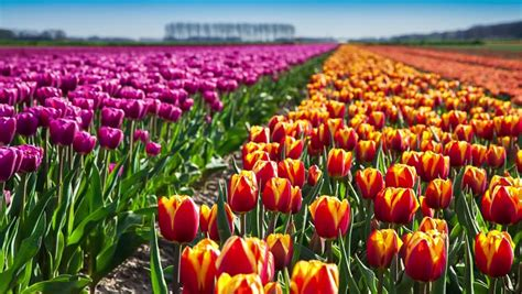tulips bed farm hd tulips farm near the creil town beautiful morning scenery in netherlands europe exported from