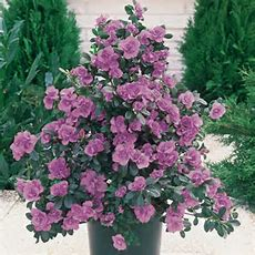 Buy Azalea Diamond Lilac  J Parker Dutch Bulbs