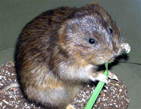 Woodland Vole Life Expectancy