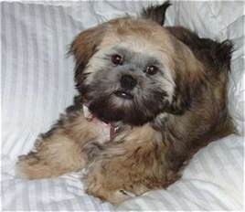 shih apso dog breed information and pictures