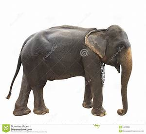 Thai Elephant Design Side View Full Body Of Thai Elephant Standing Show