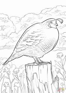 quail coloring page - california quail coloring page free printable coloring pages