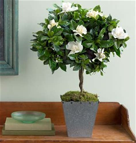 30 best images about growing gardenia on