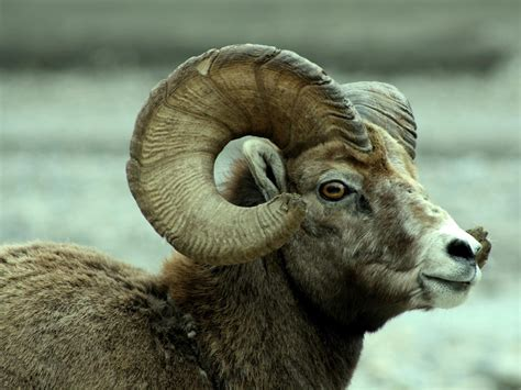 Animal Hd Wallpapers 1600x1200 - animals horns sheep 1600x1200 wallpaper high quality