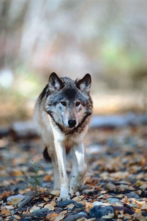 majestic gray wolf pictures tail  fur