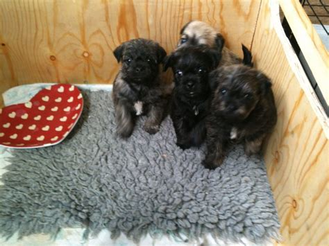 Toy Poodle Cross Pug Puppies Hereford Herefordshire