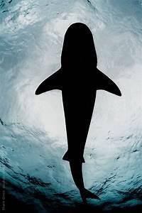 A tiger shark in silhouette.   Sharks   Pinterest   A ...