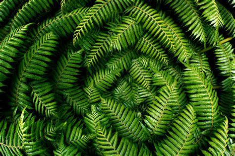 zealand tree fern fronds flickr photo sharing