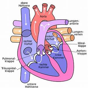 File Diagram Of The Human Heart  Cropped  De V2 Svg