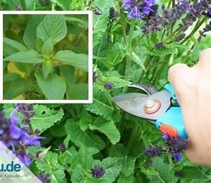 Gartenhibiskus Vermehren Stecklinge : pflanzen ~ Lizthompson.info Haus und Dekorationen