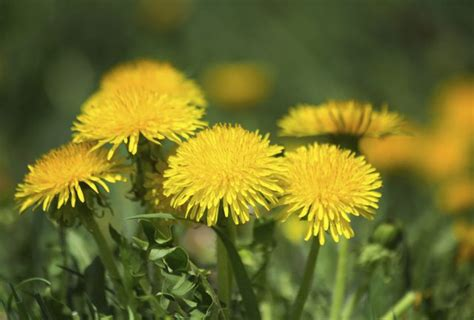 how to kill dandelions how to permanently kill dandelions in your lawn hunker