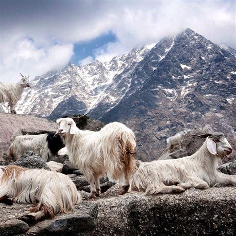 Welches Tier Liefert Die Hochwertige Kaschmirwolle by Kaschmirwolle Juli Cs Juli Cs