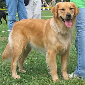 Golden Labrador (Golden Retriever x Lab) Info, Temperament ...