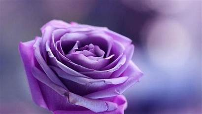 Purple Rose Background Backgrounds Wallpapers