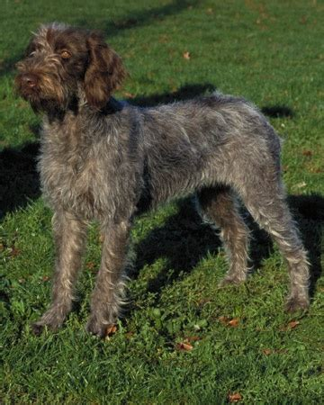 25 best ideas about wirehaired pointing griffon on