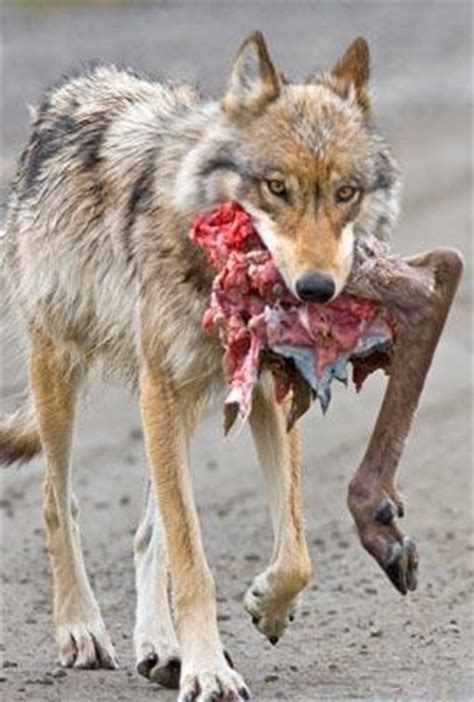 denali proposes  wolf protections