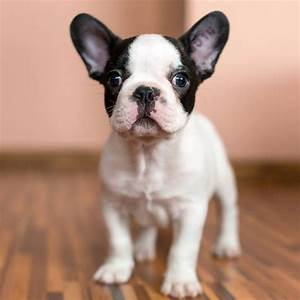 teacup french bulldog - Google Search | French Bulldogs ...