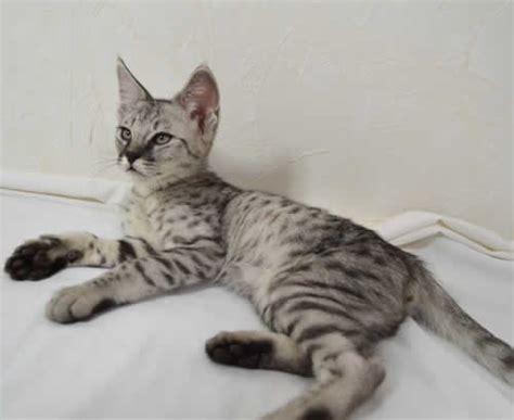 F2 Savannah Kittens Ocm0203f