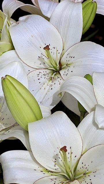 White Lilies Flowers