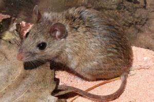 Répulsif Souris Efficace : r pulsif souris efficace d penser en huiles essentielles contre les souris ~ Melissatoandfro.com Idées de Décoration
