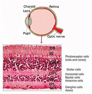 Anatomy Of Human Eye And Retinal Layers  Diagram Of The