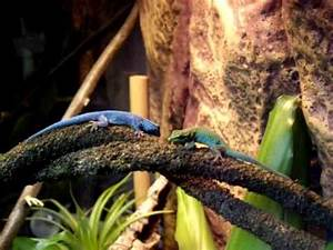 Electric blue gecko