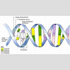 33 & 71 Dna Structure  I Am So