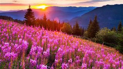 Pink Landscape Mountain Summer Flowers Wallpapers Lupine