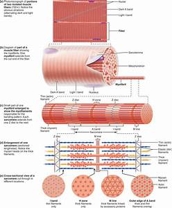 9 3 Skeletal Muscle Fibers Contain Calcium