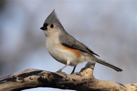 tufted titmouse song of america birdseed