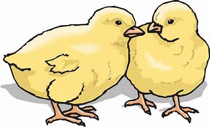 Chicks Clipart Chickens Farm Clip Animal Chick