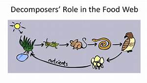 Decomposers  Role In The Food Web